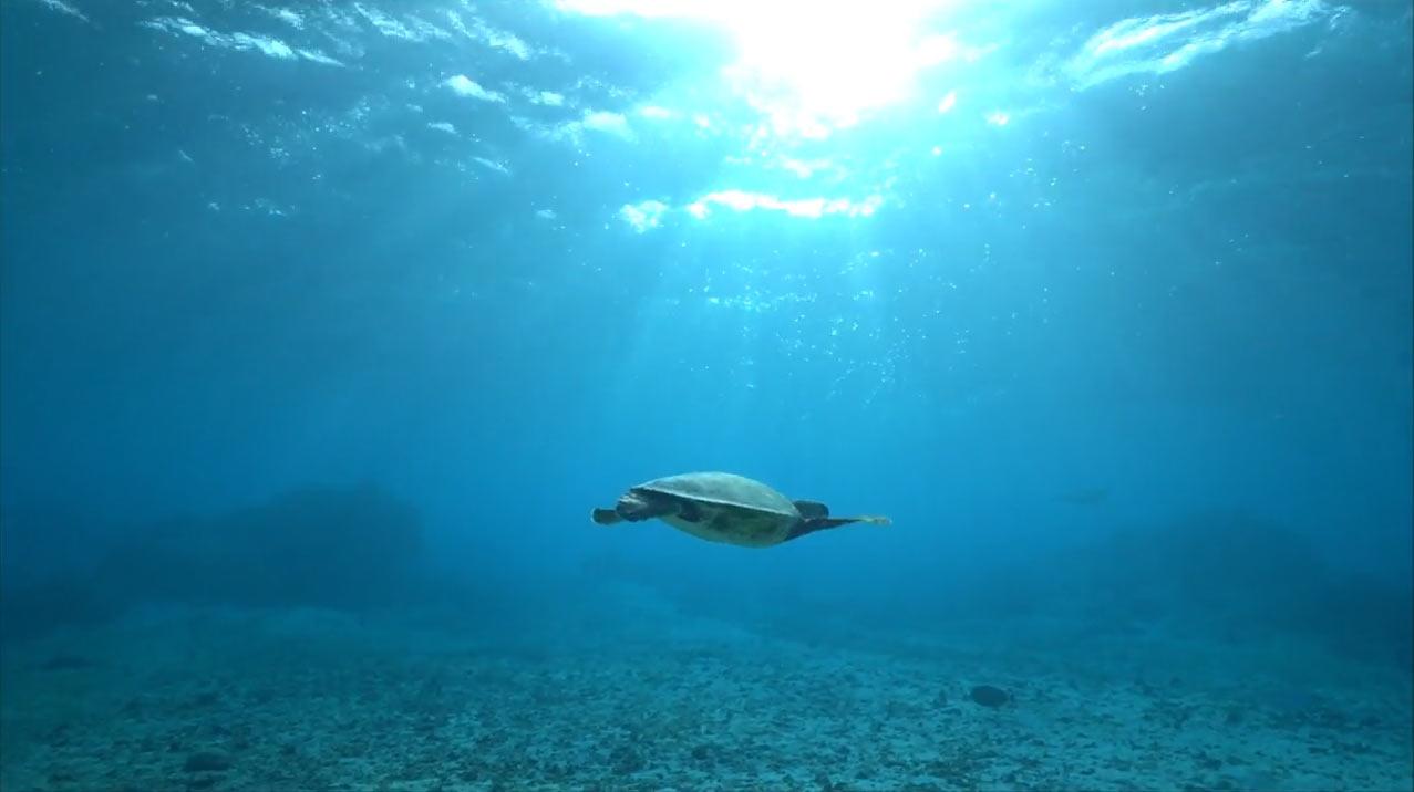 宮古島の海ガメを動画で紹介
